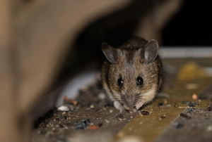 A mouse sitting in a small sheltered space.
