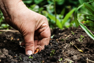 A hand planting seeds in soil