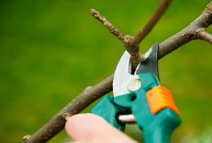 Winter pruning of an apple tree with secateurs.
