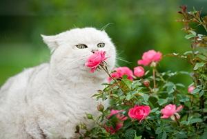 White cat smelling a miniature rose bush