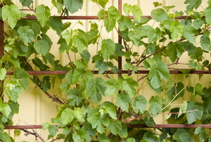 Grape vines growing on a trellis