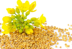 mustard blossom and seeds