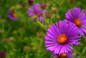 Blooming purple asters.