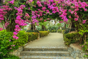 A pink bougainville archway.