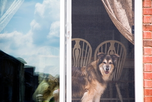 A dog looking out of a sliding screen door