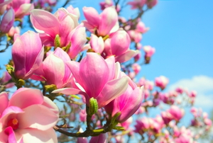 A close-up of blooming magnolia flowers.