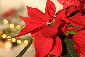 A healthy, red poinsettia.
