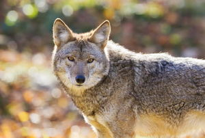 Coyote Prevention: How to Keep Them Away from Your Property