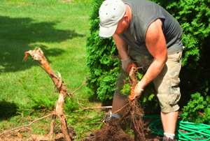Old shrub roots and trunks are being pulled.