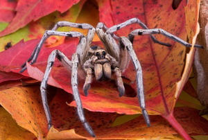 A wolf spider hiding in fall leaves.