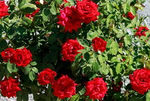 A rose bush.