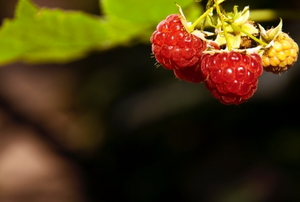 Red ripe raspberries growing in the garden.