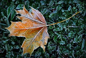 A frosty leaf laying on green plant matter.