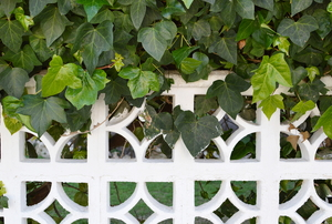 vibrant, green ivy growing on white fence