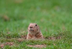 groundhog peeking out from hole