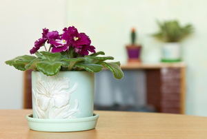 African violet in a pot on a table