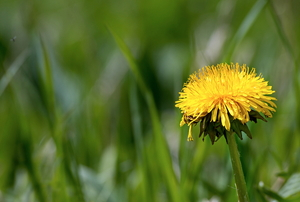 A close-up image of a dandelion in grass.