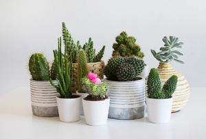 A grouping on cacti and succulents against a white background.