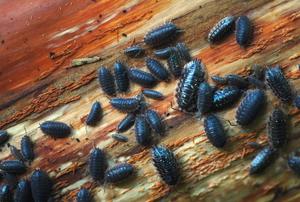pillbugs crawling on floor