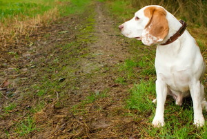 A beagle surveys a muddy, ruined lawn