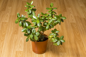 A jade plant on a hardwood floor.