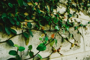 concrete wall with creeping vines