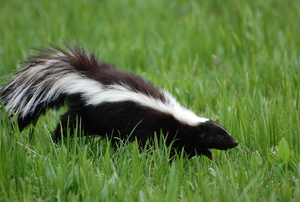 A skunk on green grass.