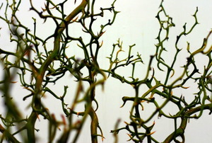A thicket of thorns.