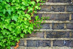 Green ivy climbing up an old brick wall.