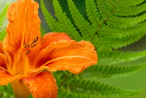 lily with ferns