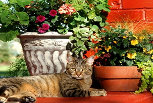 Beautiful fall container gardening with cat resting nearby.