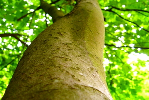 Looking up the greenish trunk of a sycamore.
