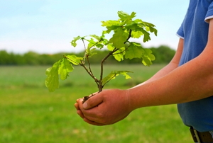 An oak tree sapling in hand, ready for transplant.