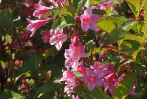 A weigela plant in full bloom with pink flowers.