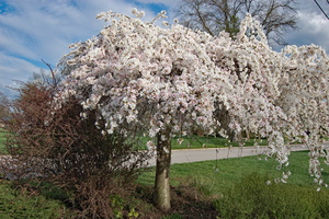 Weeping Cherry Tree Care and Pest Control