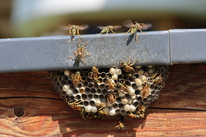 Hot Topics: Wasp and Bee Infestation