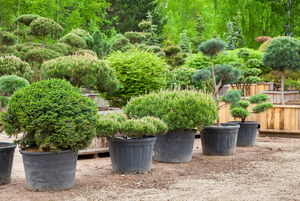Japanese Boxwoods vs. Common Boxwoods