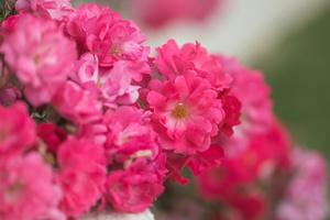 Creating a Single Color Garden Using Pink