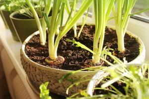 Plant a Kitchen Garden Using Vegetable Scraps