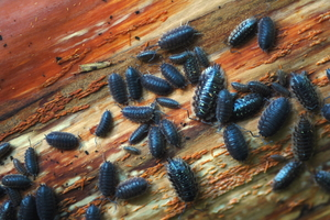 How to Get Rid of Pillbugs