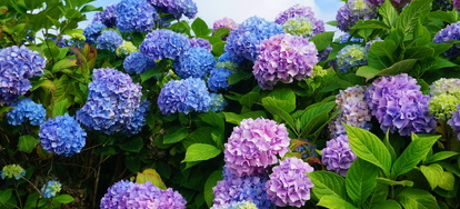 Although The Plants Are Noted For Their Easy Care There Several Insects And Diseases To Which They Susceptible Hydrangeas