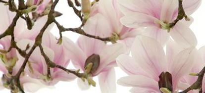 Pruning A Magnolia Tree Doityourselfcom