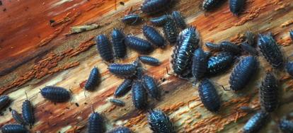 How To Get Rid Of Pillbugs Doityourself Com