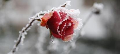 Rose Bush Care Preparing For Winter Cold Doityourself Com