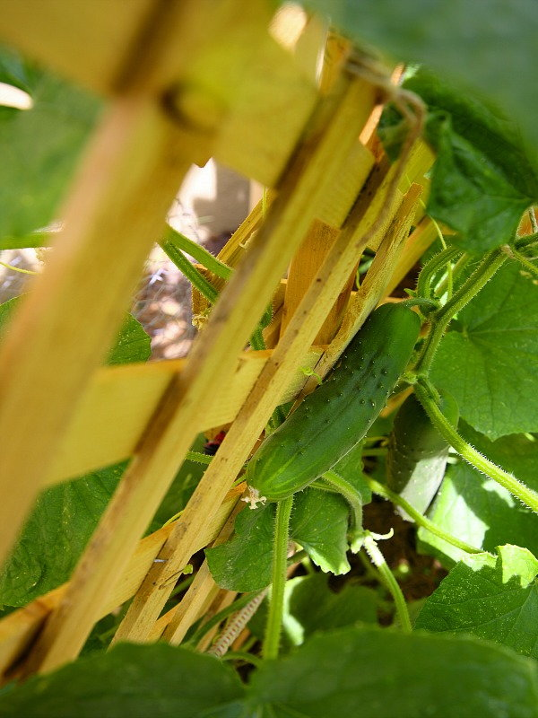 6 Reasons to Grow Vertical, cucumber