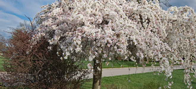 weeping cherry tree care and pest control doityourselfcom