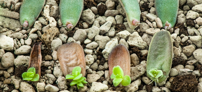 how to make propagate succulents