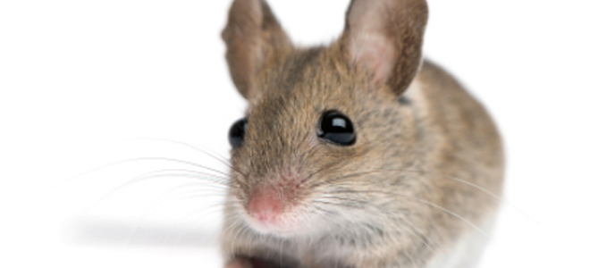 Mice : Get Them Out and Keep them Out | DoItYourself.com