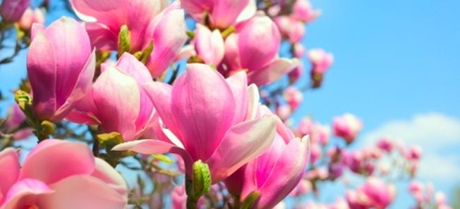 Identifying and treating magnolia tree diseases doityourself identifying and treating magnolia tree diseases identifying and treating magnolia tree diseases mightylinksfo