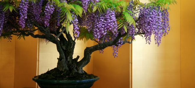 large bonsai wisteria with purple flowers